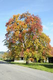 Beautiful Tree In Fall Royalty Free Stock Photography