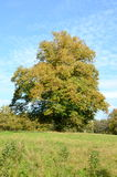 Beautiful tree in a field in autumn Stock Photography
