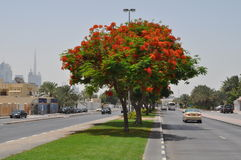 Beautiful tree flowers at Manhool road Royalty Free Stock Images