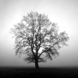 A beautiful tree on a foggy morning Stock Images