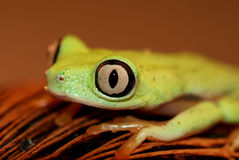 Beautiful tree frog Stock Image