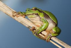 Beautiful tree frog Royalty Free Stock Photos