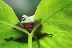Tree frog, dumpy frog hide on leaf frame. Beautiful Tree frog, dumpy frog hide on leaf frame Royalty Free Stock Photos