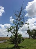 Beautiful tree. Grass leaves water clouds sky Florida Everglades life Royalty Free Stock Photography