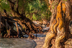 Beautiful tree growing in the sea with big impressive polished roots in the water at the morning beach of Thailand. Tree growing in the sea with big impressive Royalty Free Stock Photo