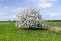 Beautiful tree grows in the field alone royalty free stock photo