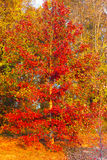 Beautiful tree on a hill in autumn. Stock Images