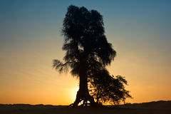 Beautiful tree landscape in Dubai desert Stock Image