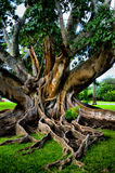 Beautiful tree with large roots. A large spreading tree in Florida with many visible roots Royalty Free Stock Photography