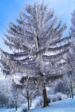 Beautiful tree, like from a fairytale covered hoarfrost against the sky. Beautiful tree, like from a fairytale covered with hoarfrost against the sky Stock Image