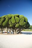 Beautiful tree in Madrid park Stock Images