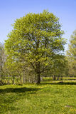 Beautiful tree Royalty Free Stock Images