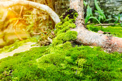 Beautiful tree with moss cover. Nature green wood sunshine backg Royalty Free Stock Photography
