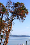 Beautiful Tree by Pacific Ocean, Ladysmith, British Colombia Royalty Free Stock Photo