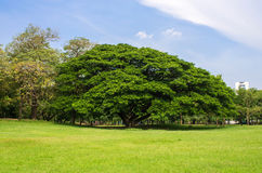 Beautiful tree in the park Royalty Free Stock Images