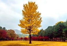 Beautiful tree Party Coloured. In Korea Royalty Free Stock Photo