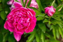 Beautiful Tree Peony After a Rain. Closeup of a peony bloom with a burgeoning bloom in the background Stock Photo