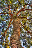Beautiful Tree. Beautiful pine Tree under up side Royalty Free Stock Images