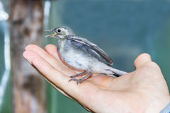 Beautiful tree pipit bird with open beak  in man`s hand Royalty Free Stock Image