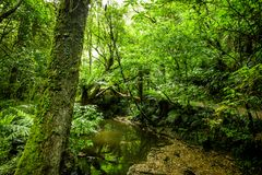 Beautiful tree in Catlins forest, New Zealand. Beautiful tree and a pond in Catlins forest, New Zealand stock images