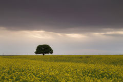 Beautiful tree in a rape field Royalty Free Stock Photography