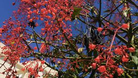 Beautiful tree with red flowers. The bee flies near the buds. Camera moves from down to up. Close-up. Beautiful summer tree with green leaves and bright red stock footage
