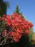 Beautiful tree. Red leaves of acacia. stock photos