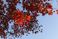 Beautiful tree with red leaves Royalty Free Stock Photos