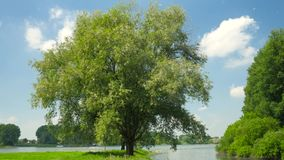 Beautiful tree at the river (rhine). Beautiful tree at the river with pollen stock footage