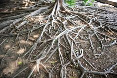 Beautiful Tree root Branching. On Soil surface stock images