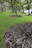 Beautiful tree root spreading Stock Photos