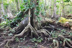 Beautiful tree´s roots on carenero island Bocas del Toro panama. The amazing jungle forest of carenero island in Bocas del Toro Archipelago with its royalty free stock photos