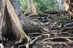 Beautiful tree´s roots on carenero island Bocas del Toro panama. The amazing jungle forest of carenero island in Bocas del Toro Archipelago with its royalty free stock photography