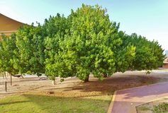 Beautiful tree in the school garden. Beautiful tree in the JESS school garden Dubai Royalty Free Stock Photos
