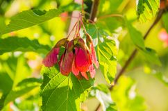 Beautiful tree seeds. Beautiful tree seeds, green leaves stock photography