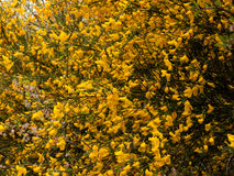 Beautiful tree seen from the side with tons and dozens of gorse Stock Images