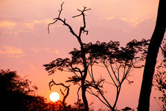 Beautiful tree silhouette and sun at the sunset Royalty Free Stock Images