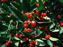 Tree with small red berries. Beautiful tree with small red berries on a clear summer day royalty free stock photos