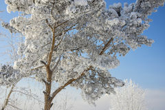 Beautiful tree in the snow. In Siberia stock images