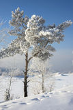 Beautiful tree in the snow. In Siberia royalty free stock image