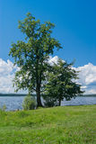 Beautiful tree stands on Seliger lake Royalty Free Stock Image
