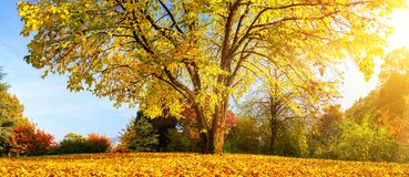 Beautiful tree on a sunny autumn day Stock Images