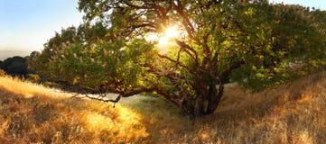 Beautiful tree at sunset on golden hillside Stock Image