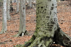 Beautiful tree trunks in the woods, carved with names and sayings. Beautiful woodsy scene with numerous tree trunks, surrounded by what remains of Fall's foliage Stock Images
