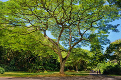 Beautiful tree in Waimea Valley on Oahu island. Beautiful tropical tree in Waimea Valley park on Oahu island Royalty Free Stock Photo