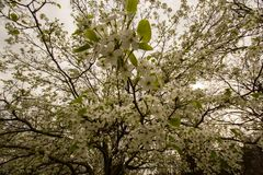 Beautiful tree with white flowers stock image