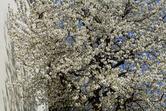 Beautiful tree with white spring flowers. Beautiful spring flowers blossom detail Stock Image