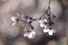 Beautiful tree with white spring flowers Stock Images
