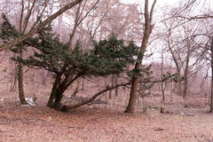 Beautiful tree in the wood. In the winter time Royalty Free Stock Photo