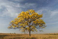 Beautiful tree with Yellow flowers Royalty Free Stock Images